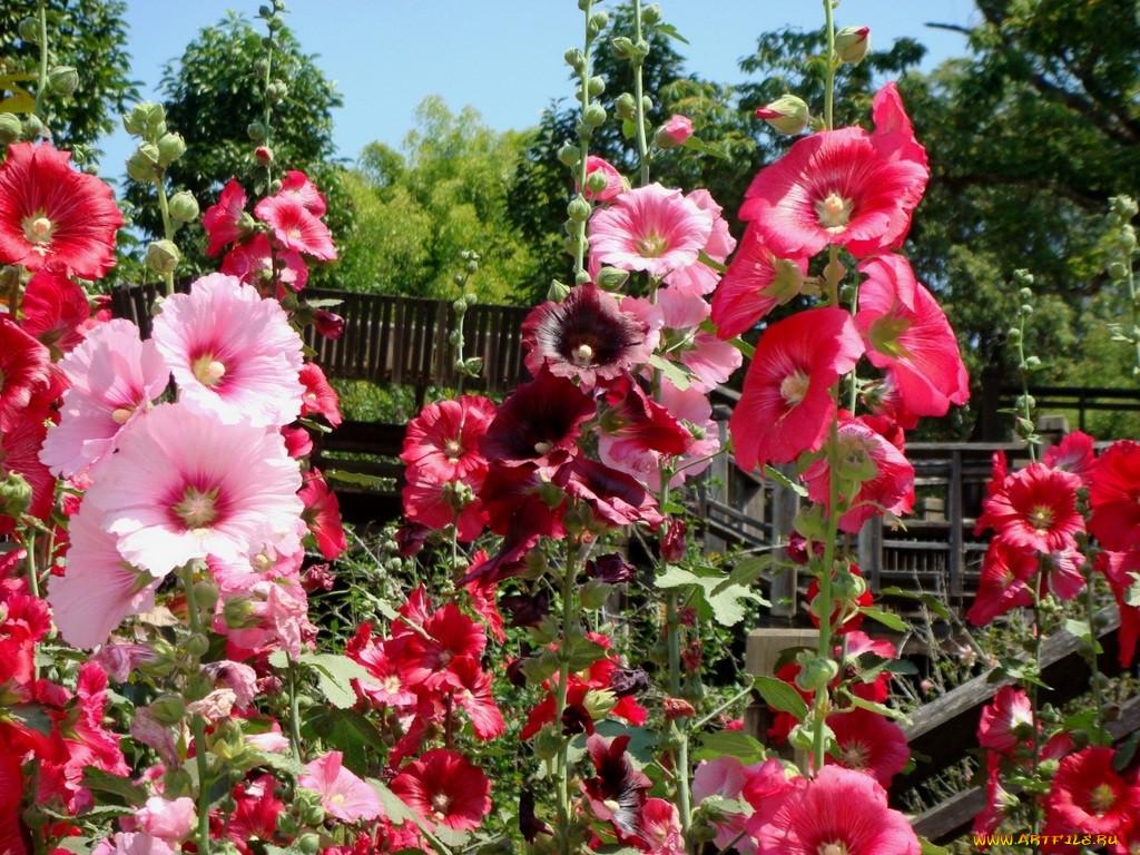 Обои Цветы Мальвы, обои для рабочего стола, фотографии цветы…